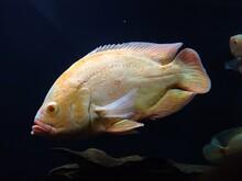 The Oscar (Astronotus Ocellatus) Fish In An Aquarium, Thiruvananthapuram Kerala