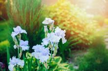 Close Up Of Light Blue Iris Flowers Blooming In Summer Garden