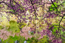 Pink Flower Blooming Of Prunus Cerasoides Or Wild Himalayan Cherry And The Natural Pond