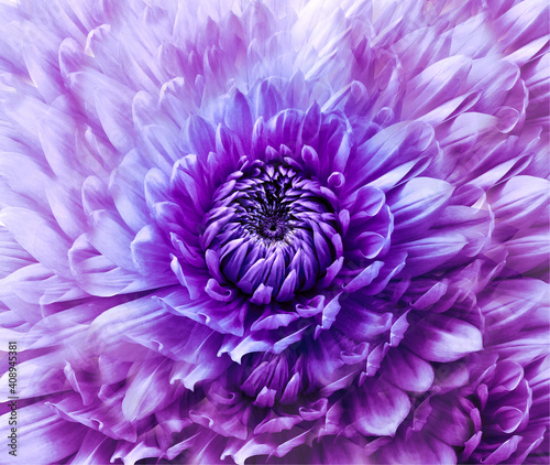 Flower purple dahlia. Floral backkground. Close-up. Nature.