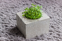 Mustard Young Microgreen Sprouts In Concrete Vase On Grey Carpet. Homegrown Microgreen Shoots. Healthy Food Concept