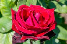 Rose 'Deep Secret' (rosa) A Summer Flowering Fragrant Hybrid Tea Bush Plant With A Red Summertime Double Flower From June Until September, Stock Photo Image