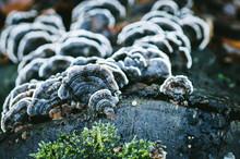 Closeup Turkey Tail Mushroom Schmetterlingstramete (Trametes Versicolor)also Known As Coriolus Versicolor And Polyporus Versicolor Is A Common Polypore Mushroom Found Throughout The World.
