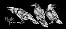 Sketch Of A Three Crows On A Black Background. Mystic Team  - Lettering Quote. T-shirt Composition, Hand Drawn Style Print. Vector Illustration.