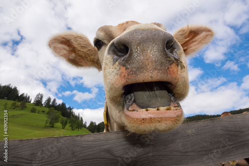 cow in Braies in Trentino Alto Adige in Italy Tapéta, Fotótapéta