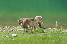 Beautiful Rural Scene With Two Cows Leisurely Walking To The Green Lake Drinking Water, View From Behind
