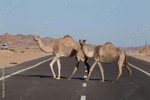 Fotomural Two dromedaries slowly crossing highway 60 in Egypt