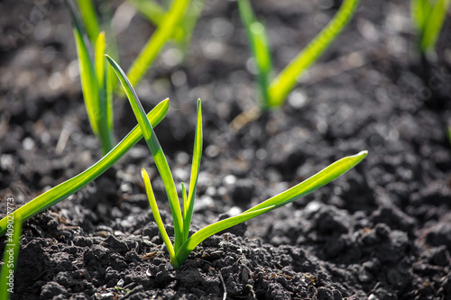 Obraz Small sprouts of garlic in the ground. - fototapety do salonu