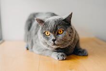 Pure Breed British Shorthair Grey Cat Portrait.