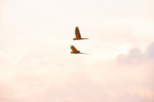 Two Macaws Fly Together In The Sky.