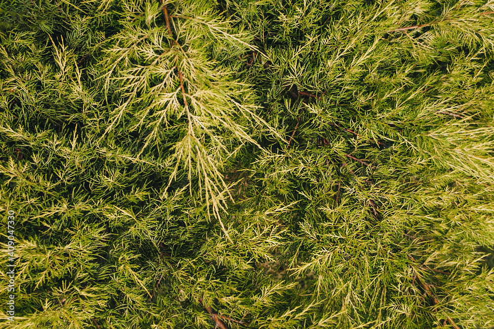Fototapeta The texture of a beautiful, green, yellow arborvitae, cypress with long needles close-up. Garden plant, bush.
