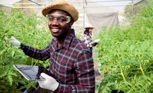 African American Farmer With Young Girl Using Tablet For Checking Fresh Young Tomatoes Plant, Organic Hydroponic Vegetable In Greenhouse Garden In Nursery Farm. Successful Business And Market Concept.