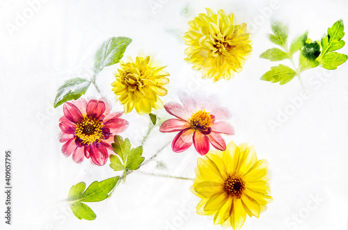 Multi-colored flowers and leaves of dahlias frozen in ice and snow on a white background Fototapete