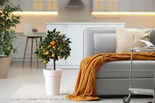 Potted Kumquat Tree With Ripening Fruits Indoors. Interior Design