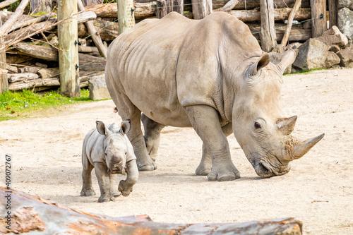 Fotografija Mother and baby White Rhino. Auckland Zoo, Auckland, New Zealand