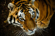 Siberian tiger looking for the next meal