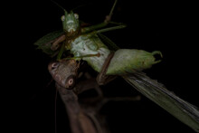 Scary Grasshopper Face Being Eaten Alive By A Brown Praying Mantis