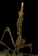 Macro Empusa Photography, Mantis Mimicry On Vegetation Wait For A Prey