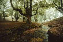 Beech Cloud Forest In Summer