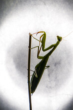 Silhouette Of Praying Mantis In Front Of A Bright Light, Wild Bug Life