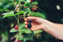 Woman Harvesting Blackberries From Plants At Farm