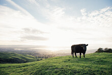 A Cow At Mission Peak Preserve With San Francisco Bay In Background