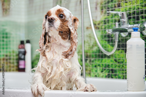 Tablou Canvas Cavalier King Charles Spaniel stands in the bathroom on his hind legs