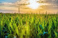 Corn Growing In Rural Kansas