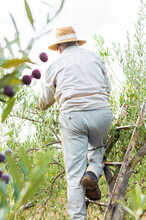 Senior Man With Boots And Hat On A Ladder Picking Olives In The Field.