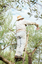 Farmer With Straw Hat On A Ladder Picking Olives From The Top Of The Tree.