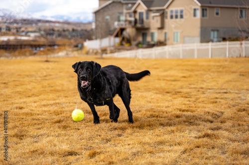 Black Labrador Retriever fetching a ball Fototapeta