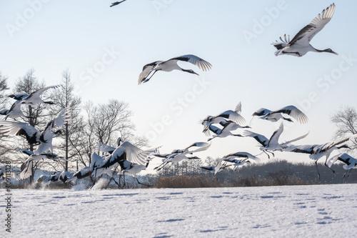 Photo 鶴の群れ