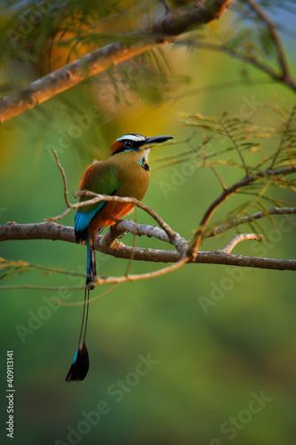 Leinwand Poster Turquoise-browed motmot - Eumomota superciliosa also Torogoz, colourful tropical