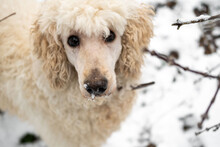 White Royal Poodle In The Winter In The Forest