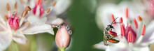 Morning Dew Drops On A Bud And A Pollinating Insect. Widescreen Defocused Background From Macro Photos