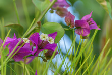 Bougainvillea Plant Flowers Among The Grass