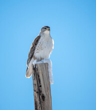 Ferruginous Hawk On A Snow Post