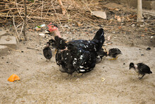 A Naked Neck Black Hen Giving Heat To Her Baby Chicks Called Natural Brooding In Chickens