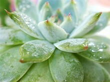 Succulent Plants Echeveria Water Drops ,Ghost-plant, Cactus Desert Plants With Blurred Background ,macro Image ,soft Focus ,sweet Color For Card Design