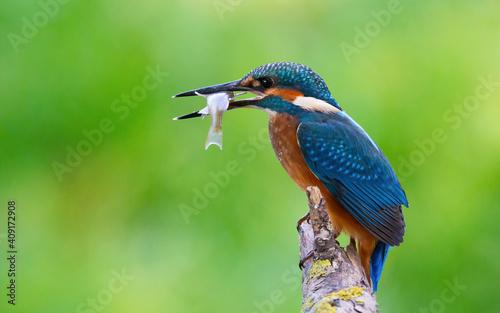 Leinwand Poster Сommon kingfisher, Alcedo atthis