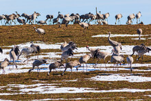 Flock Of Cranes On A Field With Snow