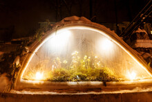Snowdrop In Small Greenhouse In Winter. Winter Evening, Fairy.