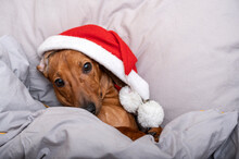 A Dachshund Dog In A Christmas Hat Lies In Bed Covered With A Blanket