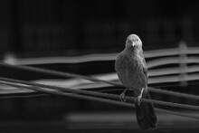 Monochrome Image Of A Mean Looking Jungle Blabber Standing On An Electric Cable Staring Right At The Camera
