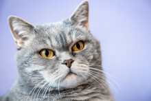 Face Of A Cute British Shorthair Cat On A Lilac Background