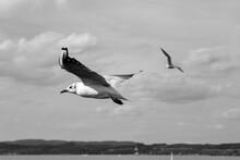 Möwe Vogel Nahaufnahme Graustufen Schwarz Weiß Flug Fliegend Bodensee Deutschland Flügel Gleiten Schwingen Wasseroberfläche Wasservogel Fische Jagd Weiße Federn Gefieder Schnabel Segeln Ufer