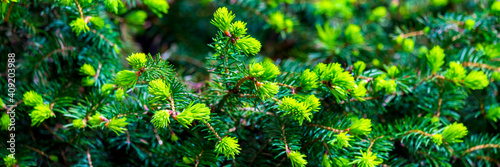 Billede på lærred Branches of spruce or conifer background