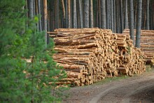Freshly Made Firewood In The Evergreen Forest, Pine Tree Logs Close-up. Environmental Damage, Ecological Issues, Ecology, Nature, Wood, Deforestation, Alternative Energy, Lumber Industry, Business