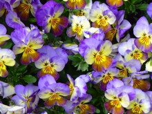 Colourful Purple And Yellow Horned Violets