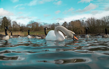 Large White British Mute Swan Swans Low Water Level View Close Up Macro Photography Feeding On Lake In Hertfordshire With Canadian Geese In Background